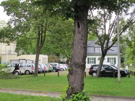 Wird in Hamburg häufiger gefällt als gepflanzt: Der Baum.
