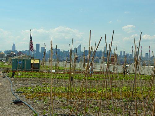 Die Brooklyn Grange in New York: Eine saisonale, kommerziell arbeitende Dachfarm, die ihr Ernte über Supermärkte und Wochenmärkte in der Nahcbarschaft vertreiben