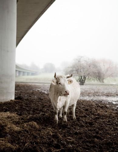 08 Kuh unter der A40, 2009 © Sebastian Mölleken